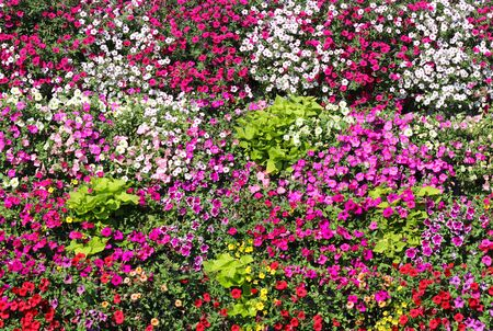 Baskets of hanging petunia flowers on balcony. Petunia flower in ornamental plant. Violet balcony flowers in pots. Background from flowering natural plants. Multi-colored petals and inflorescences. Floristics and business. . Фото со стока