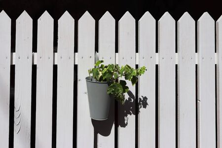 A green climbing plant in a pot hangs on a wooden fence painted white. Composition on a delicate black background. The scenery of the street exterior. The subject of artistic design.