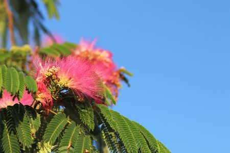 Blooming mimosa red flower with green branches against a blue sky on a sunny clear day. Tropical plants create a wonderful mood. Botany gardens and orchards. Greeting card. Natural bouquet.