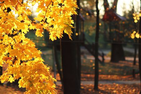 Yellow autumn foliage in the park in the rays of sunlight. Yellowed maple leaves. Hot colors of autumn trees. Place for copy space. Golden autumn and Indian summer. Changing seasons and good weather.