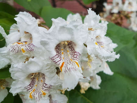 White inflorescences of a plane tree. Flowering spring nature. A source of nectar for insects. Urban green spaces. Sweet smell to attract. Landscaping design with decorative plants. Shade of trees for. Stock Photo