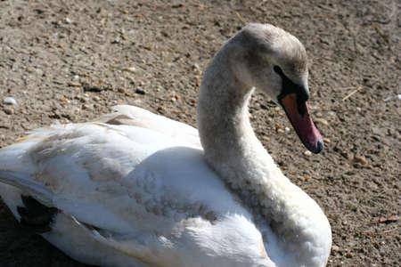 plummage: Swan  Foto de archivo