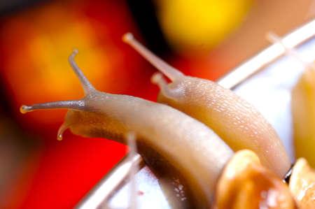 저녁 식사를위한 달팽이