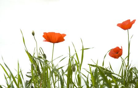 Poppies isolated on white photo