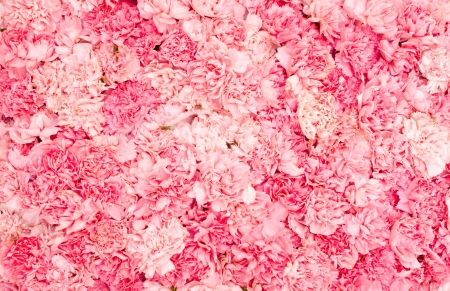 carnations: Background of pink carnation petals Stock Photo