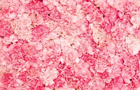Sfondo di petali rosa garofani