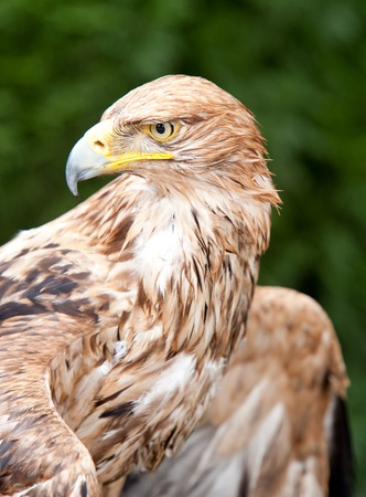 of prey: portrait of a brown eagle