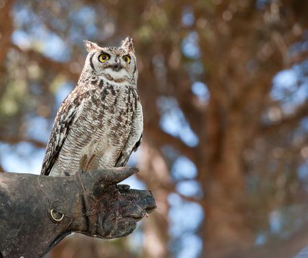 falconry: owl on falconry Stock Photo