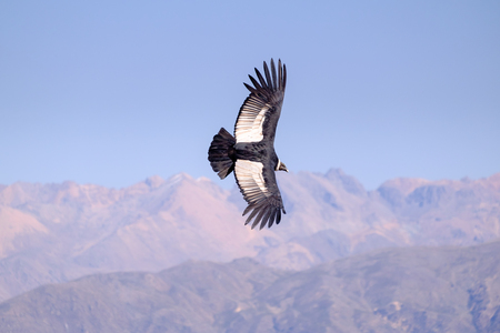 Condor flying above Colca canyon in Peru