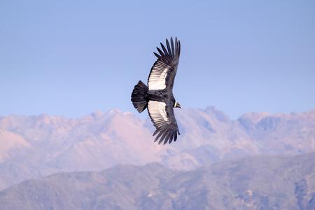 Condor flying above Colca canyon in Peru