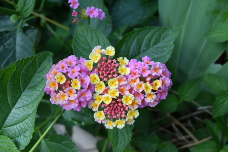 Pink and yellow Hydrangea