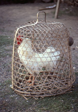 chicken cage: Chicken in a cage Stock Photo