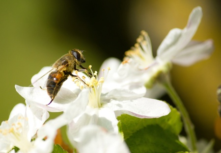 blossom honey: Bee working on the flower in springtime Stock Photo