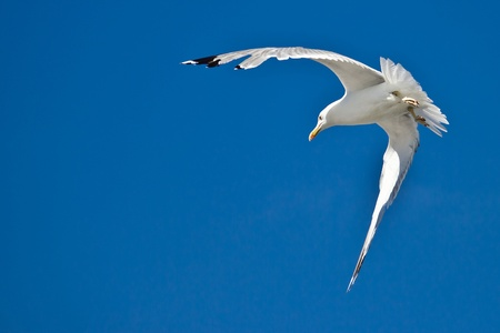 Croatian sea gull flying  with blue sky in background photo