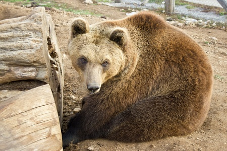 Brown bear sitting, Lika, Croatia photo