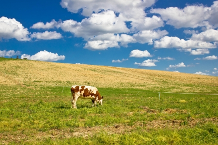 Single cow in green nature meadow under blue sky photo