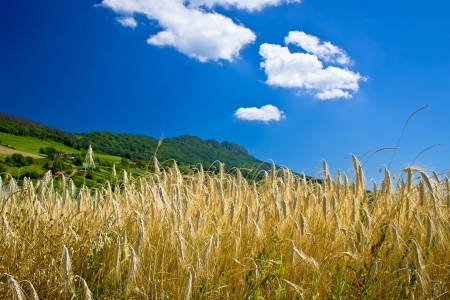 kalnik: Wheat field under colorful mountain, Kalnik mountain, Croatia Stock Photo