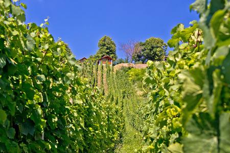 the vineyard green hill in Prigorje region, Croatia