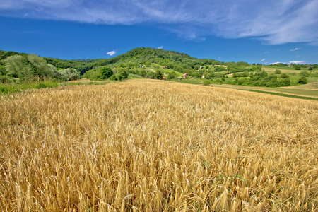 kalnik: Agricultural landscape wheat field on green hill in Croatia, Prigorje region