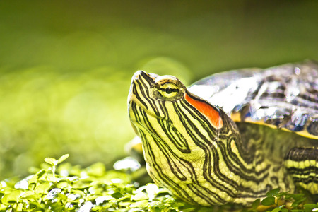 natue: Turtle head portrait in green natue - Red eared slider - Trachemys scripta elegans