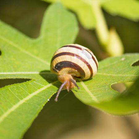 fig leaf: Snail on green fig leaf, square composition Stock Photo