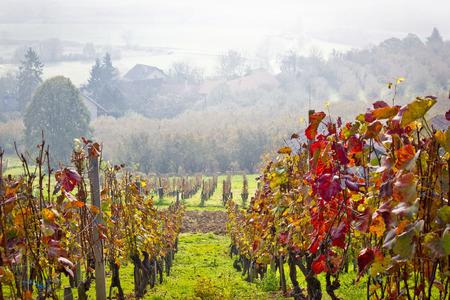 Vineyard in autumn fog view, Prigorje region of Croatia Stock Photo