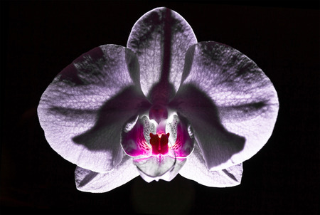 ambiance: Orchid flower isloated on black background with light effects (phalaenopsis ambiance)