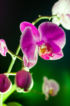 ambiance: Orchid flower view on black background (phalaenopsis ambiance) Stock Photo