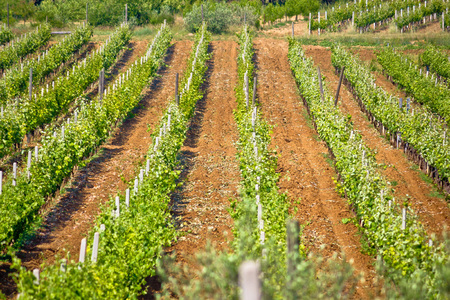kalnik: Green vineyard on red dirt view