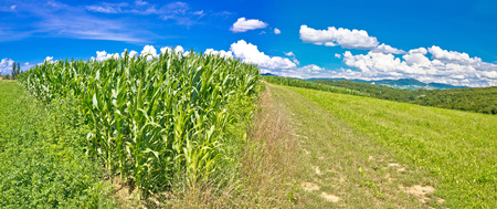 pictoresque: Agricultural landscape panorama in Prigorje region, corn field and green meadow on pictoresque hill, Croatia