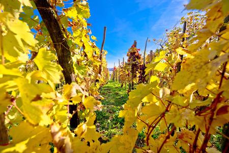 Vineyard in autumn colors view, Kalnik wine region of Croatia Stock Photo