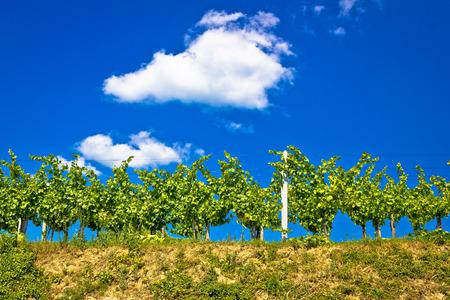 Vineyard on hill summer view, Prigorje region of Croatia Stock Photo