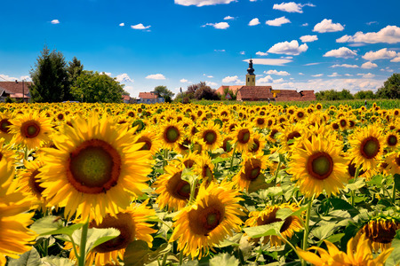 Medjimurje region landscape and sunflower field view, idyllic village of Sveti Kriz, Croatia