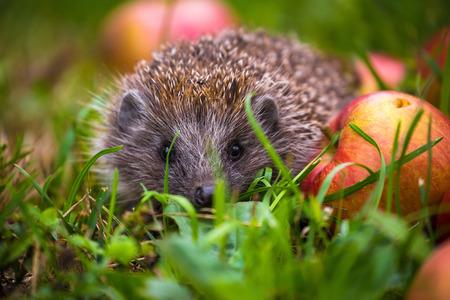 Hedgehog and aplles in nature view, wildlife portrait of Erinaceus europaeus Stock Photo