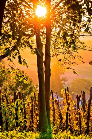 Sunset in vineyard through tree vertical view, Prigorje region of Croatia