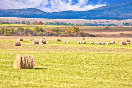 Krbava field. Scenic rural landscape and sheep farming in Lika region, central Croatia