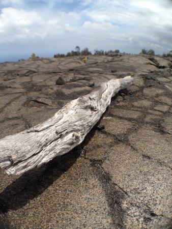A fallen branch on old lava flow