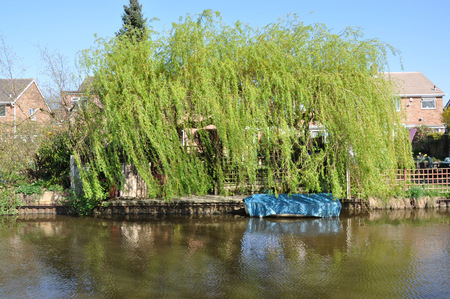 mersey: Weeping willow along the canal