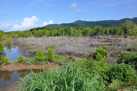 Mangrove forest clearing in Krabi, Thailand Stock Photo