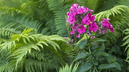 luxury pink Hydrangea in a garden of fern Stock Photo