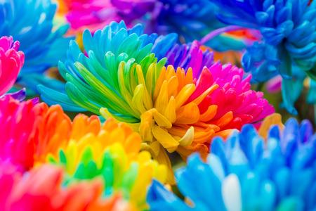 crisantemos arco iris