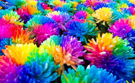 arc en ciel: chrysanthèmes arc-en-