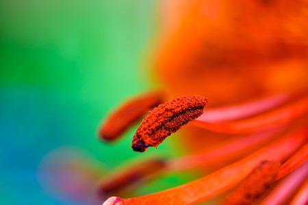orange lily: Pistils of a orange lily flower