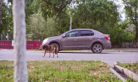 urban stray dogs cross the road. There's a car parked nearby social