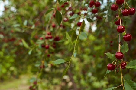 Red cherry fruits hang on branches. High quality photo