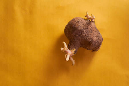ugly plain potatoes with sprouts on yellow background. High quality photo