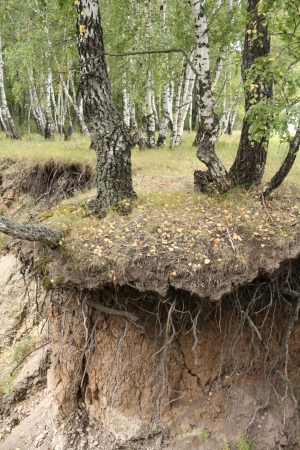 ravine: Birch forest and soil erosion.