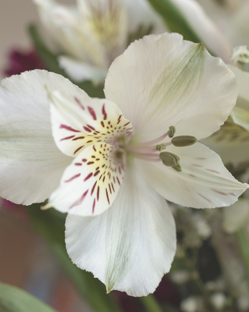 Single close up view of an Alstroemeria bloom.  Blurry background.