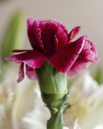 Pink carnation flower up close.  Bright pink in color.  Blurred background. 스톡 콘텐츠