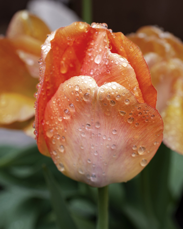 A coral colored tulip covered in rain drops.  Macro side view.